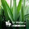 Sir Walter Buffalo - DNA Certified (Instant Turf)